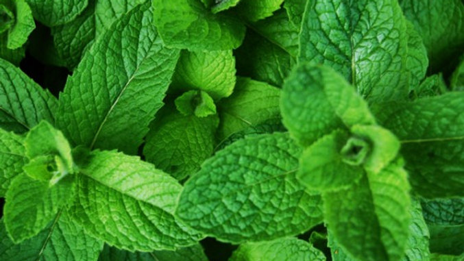 Mint - Bunch Certified Organic