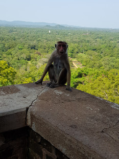 Monkeys are plentiful at Sigiriya! While they are not dangerous, be aware of your belongings.