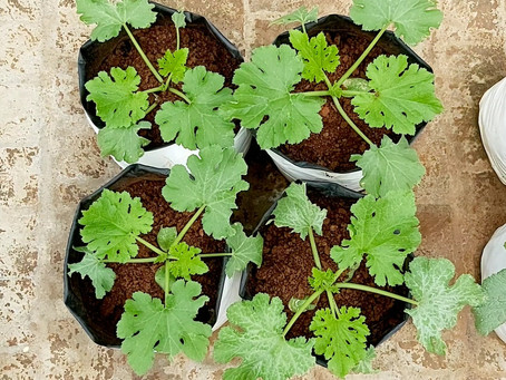How to plant Zucchini in Home Gardening