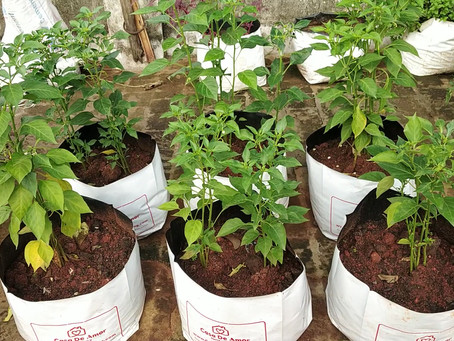 How and when to transplant Chilli saplings