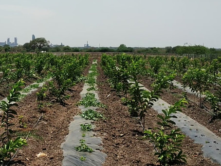 How to Irrigate Guava plants