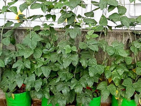 How to grow Yard Long Beans at Home