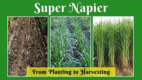 Super Napier - Planting to Harvesting.jp