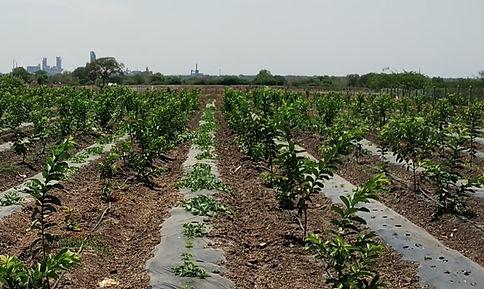 Organic Guava Farming in Ariyalur, Tamil Nadu