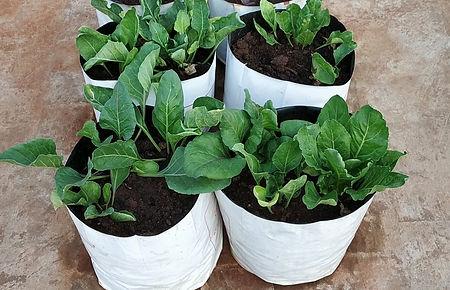 Spinach Harvesting.jpg