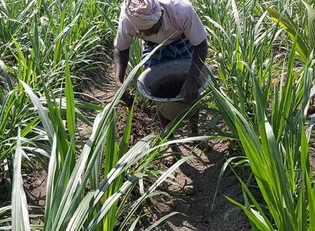 How to fertilizer Super Napier