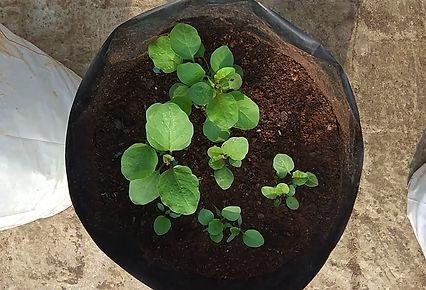 Brinjal saplings.jpg