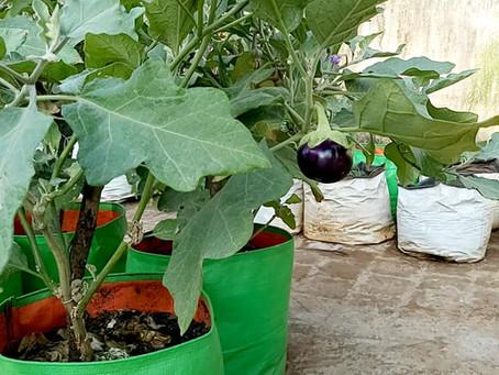 How to Fertilize Brinjal plants - Vegetable gardening at home