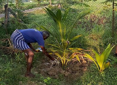 Organic Fertilizer for Organic coconut farming in Ariyalur, Tamil Nadu, India