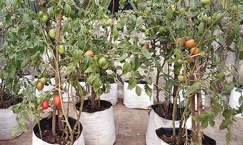 Tomatos ready for harvesting.jpg
