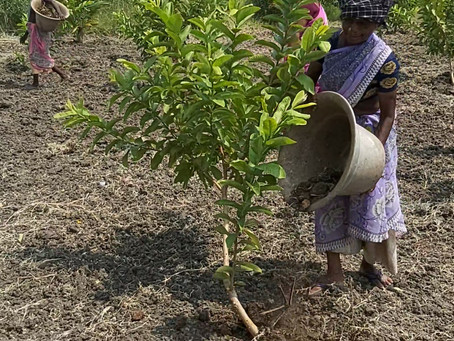 How to Fertilize Guava trees