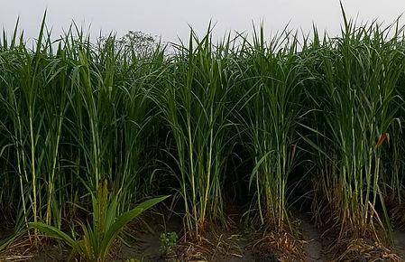 Organic Super Napier Farming in Ariyalur, Tamil Nadu