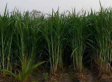 Super Napier grass - 90 days after planting