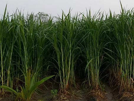 Super Napier - Organic Farming in Tamil Nadu