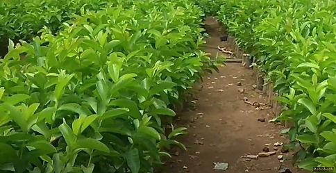 Organic Guava Farming in Ariyalur.jpg