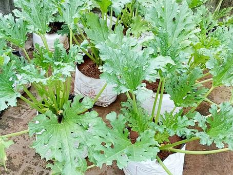 Irrigating and Fertilizing Zucchini