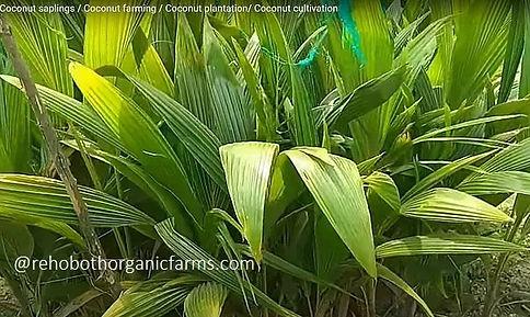 Coconut saplings - Rehoboth Organic Farm