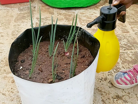 How to Irrigate Onions in the garden
