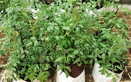 Tomatos flowering.jpg