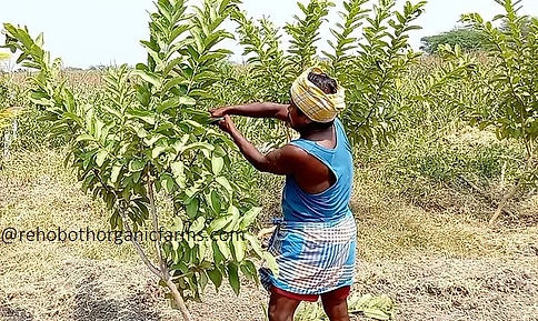 Pruning Guava trees.jpg