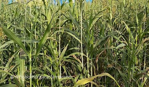 Sorghum fodder - after 75 days.jpg