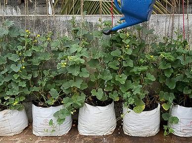 Muskmelon -  Irrigation.jpg