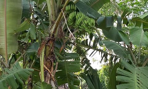 Organic Banana Farming in Ariyalur, Tamil Nadu