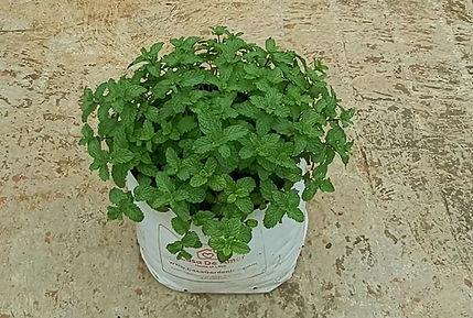 Mint ready for harvesting.jpg