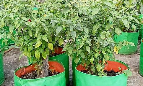 Chilli Harvesting.jpg