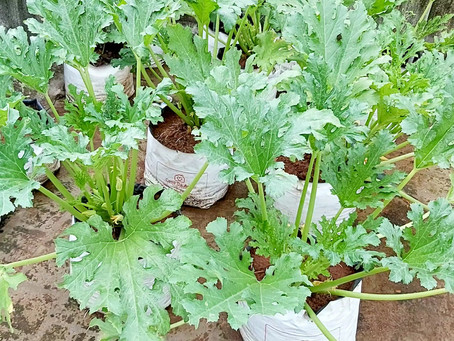 How to Control Zucchini Pests and Diseases in Terrace garden