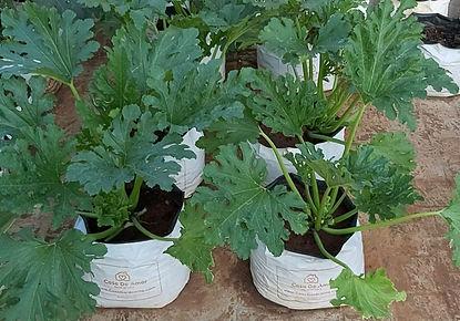 Zucchini started flowering.jpg
