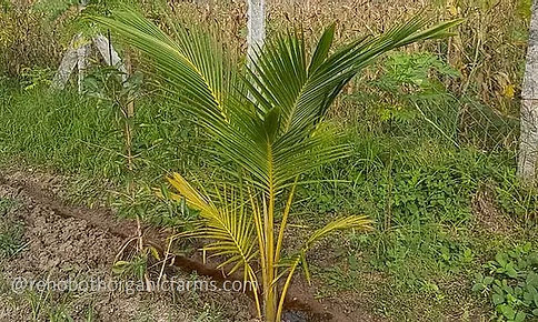 Coconut tree after 2 years.jpg