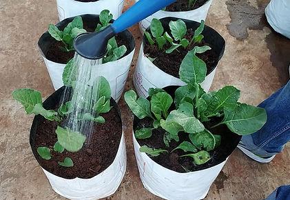 Irrigating Spinach.jpg