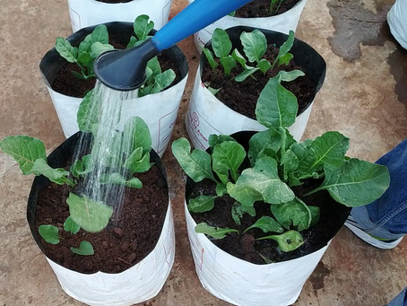 Irrigating Spinach - Vegetable gardening at home