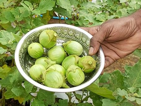 Harvesting Eggplants in Home Gardening