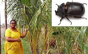 Coconut beetles.jpg