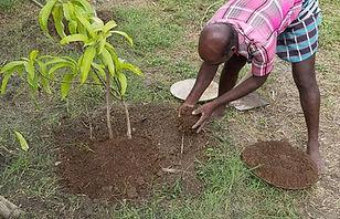 Mango tree fertilizer.jpg