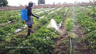 Muskmelon Fertilizing.jpg