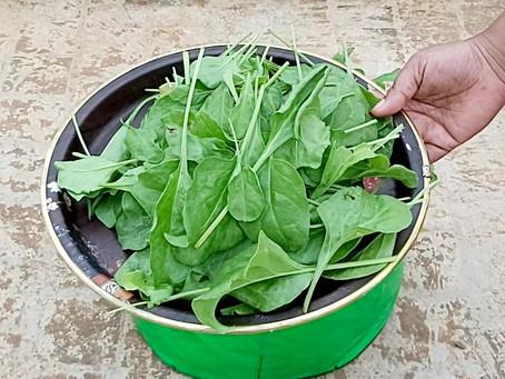 Harvesting Spinach in Terrace Garden
