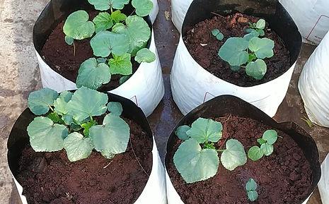 Okra planting.jpg