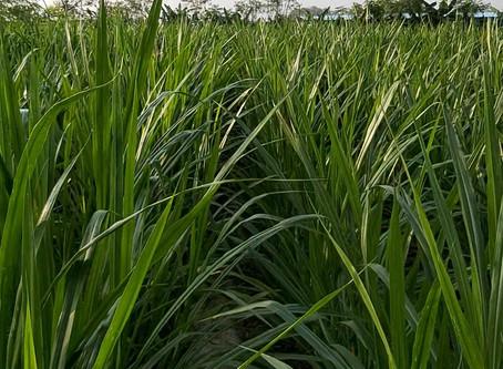 Super Napier grass - 75 days after planting