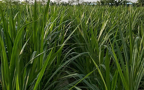 Super Napier grass at Rehoboth Organic Farms in Tamil Nadu, Ariyalur, India