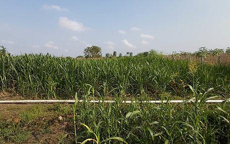 Organic Fodder Maize farming in Ariyalur, Tamil Nadu, India