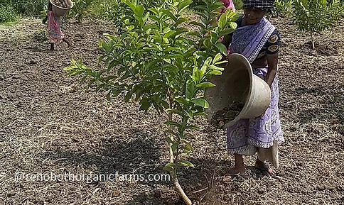 How to fertilize guava trees.jpg
