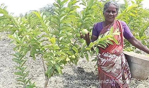 Harvesting Guavas.jpg