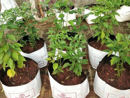 How to transplant Chilli saplings in Terrace Garden