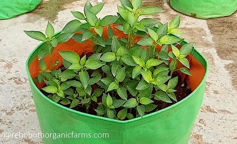 Chilli planting.jpg
