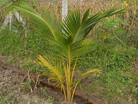 Coconut - Organic Farming in Tamil Nadu