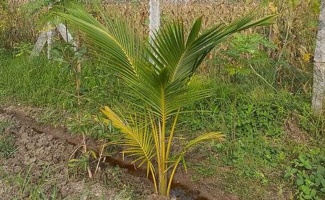 Organic Coconut Farming in Ariyalur, Tamil Nadu