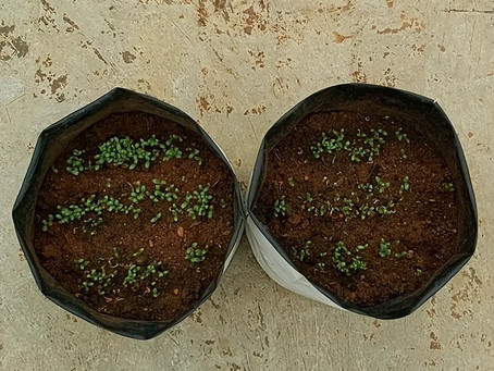 How to grow Fenugreek at home - Vegetable gardening at home
